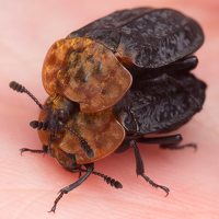 Oiceoptoma thoracicum · raudonnugaris maitvabalis 1492
