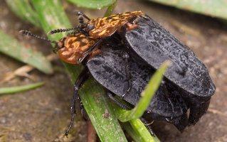 Oiceoptoma thoracicum · raudonnugaris maitvabalis 1494