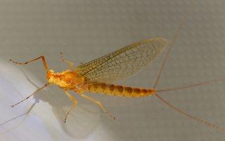 Ephemeroptera · lašalas 3824