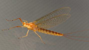 Ephemeroptera · lašalas 3825