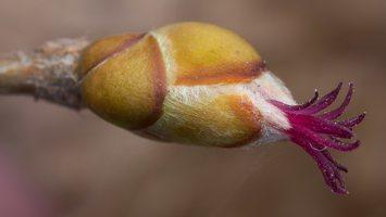 Corylus avellana female flowers · paprastasis lazdynas, moteriški žiedai 1158