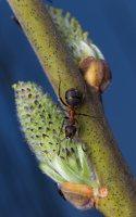Salicaceae · gluosniniai 1170