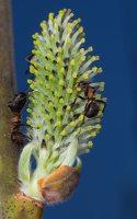 Salicaceae · gluosniniai 1171