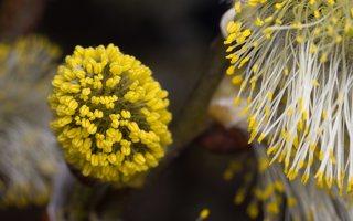 Salix caprea · blindė 1176