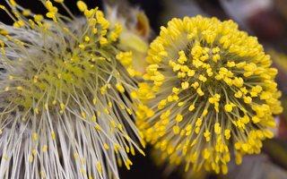 Salix caprea · blindė