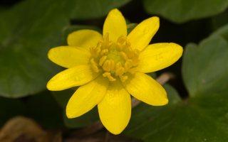 Ranunculus ficaria · pavasarinis švitriešis 1189