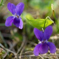 Viola odorata · kvapioji našlaitė 1314