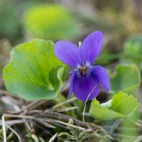 Viola odorata · kvapioji našlaitė 1315