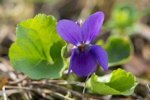 Viola odorata · kvapioji našlaitė 1316