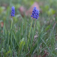Muscari sp. · žydrė