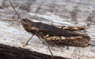 Acrididae · skėriai 3999