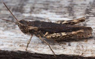 Acrididae · skėriai 4000