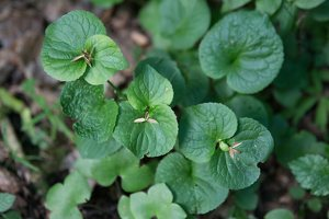Viola mirabilis · puošnioji našlaitė 4015