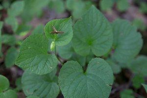 Viola mirabilis · puošnioji našlaitė 4017