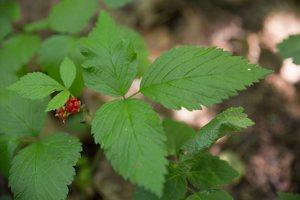 Rubus saxatilis · paprastoji katuogė 4018