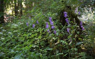 Campanula latifolia · plačialapis katilėlis 4057