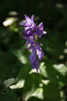 Campanula latifolia · plačialapis katilėlis 4058