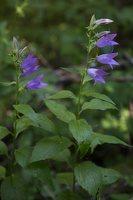 Campanula latifolia · plačialapis katilėlis 4059