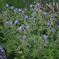 Geranium pratense · pievinis snaputis 4128