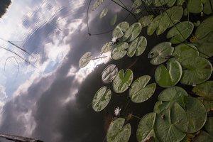Nymphaea candida · mažažiedė vandens lelija 4408