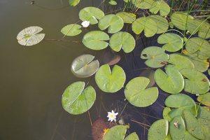 Nymphaea candida · mažažiedė vandens lelija 4409