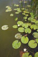 Nymphaea candida · mažažiedė vandens lelija 4410