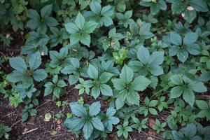 Parthenocissus quinquefolia · penkialapis vynvytis 4424
