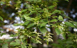 Carpinus betulus · paprastasis skroblas 4463