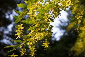 Carpinus betulus · paprastasis skroblas 4464