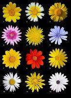 Asteracea poster · plakatas iš Wikipedijos