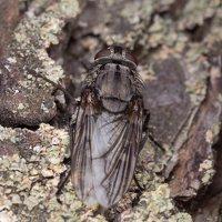 Diptera 7541