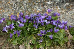 Viola odorata · kvapioji našlaitė 7661
