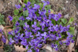 Viola odorata · kvapioji našlaitė 7664