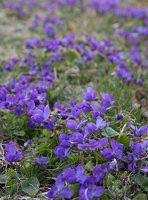 Viola odorata · kvapioji našlaitė 7673
