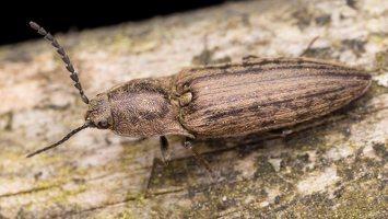 Actenicerus siaelandicus · strazdanotasis spragšis 1123