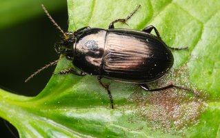 Carabidae · žygis 1126