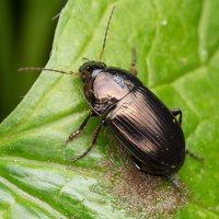 Carabidae · žygis 1128