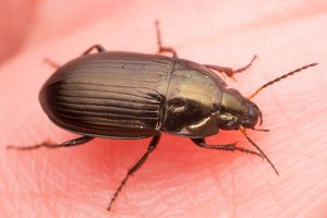 Carabidae · žygis 1146