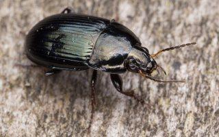 Carabidae · žygis 1181