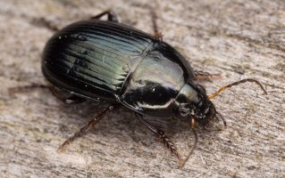 Carabidae · žygis 1189