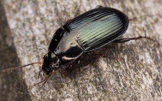 Carabidae · žygis 1190