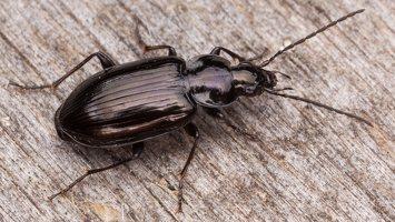 Carabidae · žygis 1191