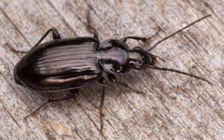 Carabidae · žygis 1192