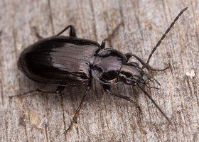 Carabidae · žygis 1194