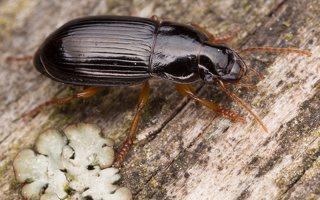 Carabidae · žygis 1200