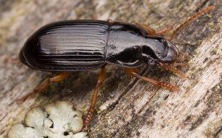 Carabidae · žygis 1201