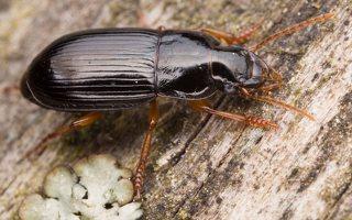 Carabidae · žygis 1202