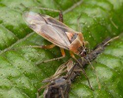 Harpocera thoracica female · žolblakė ♀ 1217