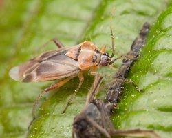 Harpocera thoracica female · žolblakė ♀ 1218