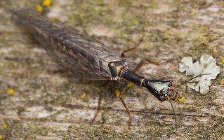 Raphidiidae · kupriukas 1225